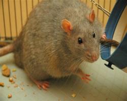 بهبـود متابولیــسم در موشهای چـاق و دیابتی با پروتئین خاص