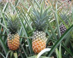 بررسی اثر آنزیم آناناس در کاهش التهاب